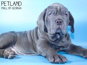 Neapolitan-Mastiff-DOG-Male-3015463