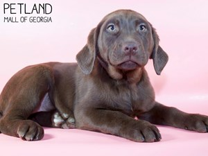 Labrador-Retriever-DOG-Female-3015455