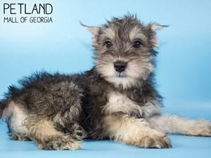 Miniature-Schnauzer-DOG-Male-3015453