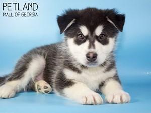 Alaskan-Malamute-DOG-Male-3015448