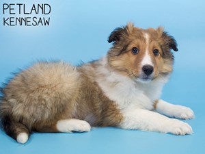 Shetland-Sheepdog-DOG-Male-3015381
