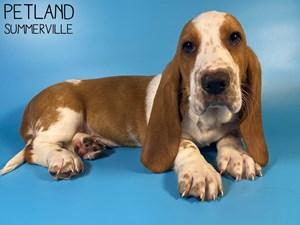 Basset-Hound-DOG-Male-3015528