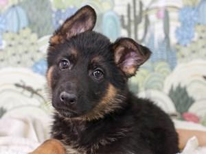 German Shepherd-DOG-Female--