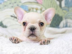 French Bulldog-DOG-Male--3027538