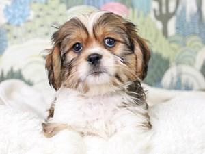 Lhasalier-DOG-Male--3027615