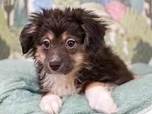 Mini Aussie-DOG-Male-Black White and Brown-3026954