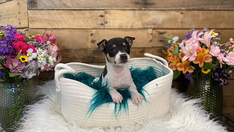 Grand Rapids Rat Terrier Puppies
