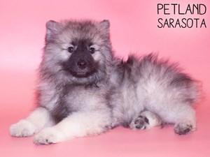 Keeshond-DOG-Female-3015488