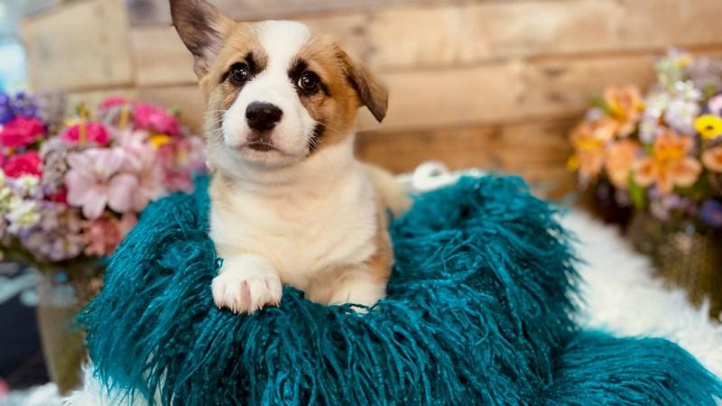 Grand Rapids Cardigan Welsh Corgi Puppies