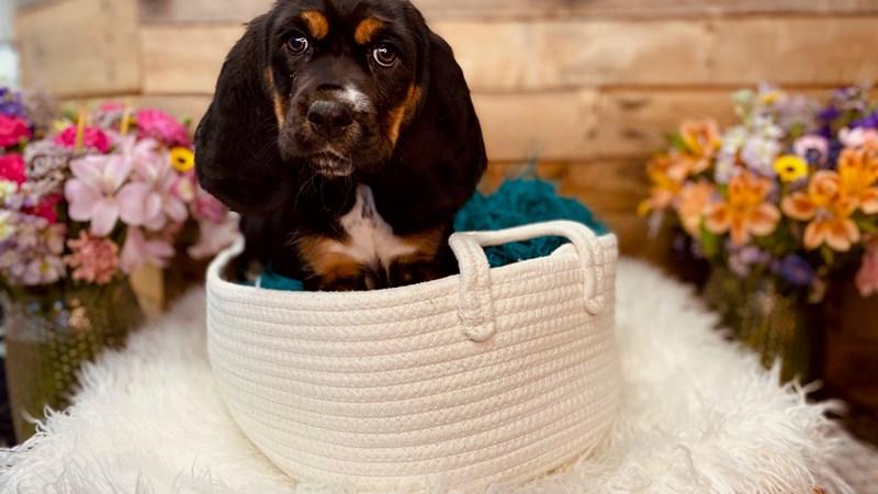 Grand Rapids Basset Hound/cocker Spaniel Puppies
