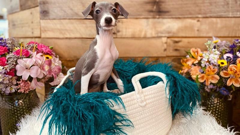 Grand Rapids Italian Greyhound Puppies