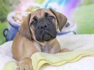 English Mastiff-DOG-Female-Fawn-3036074
