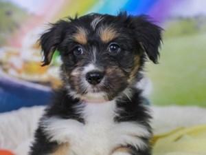 Aussieton-DOG-Female--3036984