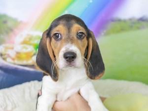 Beagle-DOG-Male-Black White and Tan-