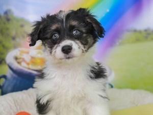 Aussieton-DOG-Female--3036983