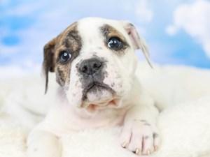Olde English Bulldog-DOG-Female--3047806