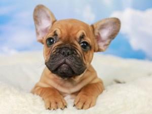 French Bulldog-DOG-Male-Red Fawn-3043489