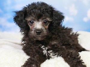 Poodle-DOG-Male-Silver-3046965