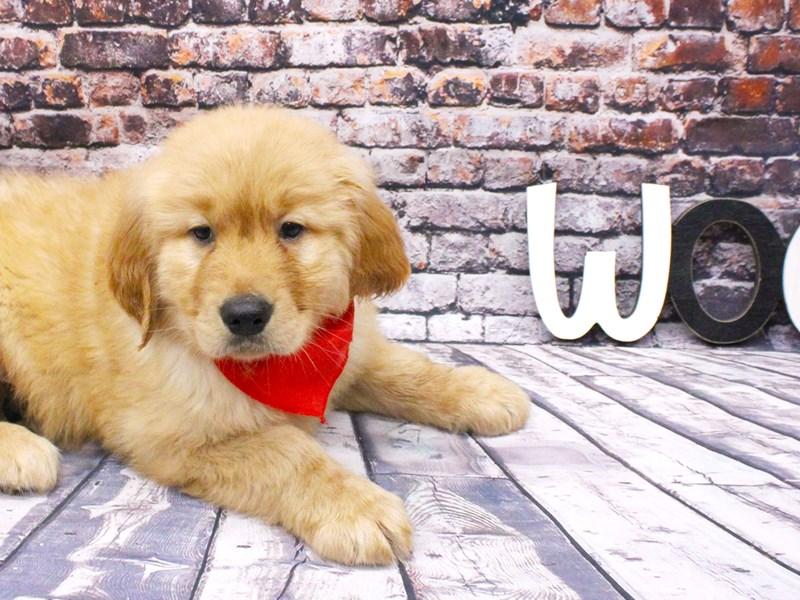 Golden Retriever-DOG-Male-Cream-3047072