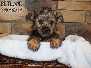 Yorkshire-Terrier-DOG-Male-3044486