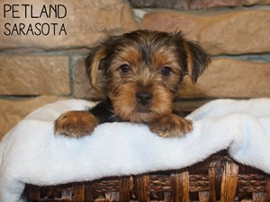 Yorkshire-Terrier-DOG-Male-3044436