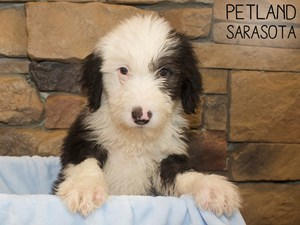 Old-English-Sheepdog-DOG-Male-3044496