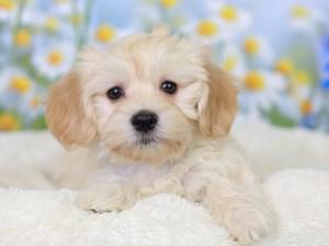 Havanese-DOG-Female--