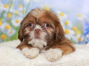 Shih Tzu-DOG-Female-LIVER / WHITE-3058757