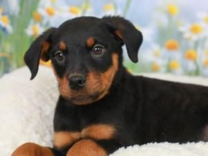 Rottweiler-DOG-Female-Black and Mahogany-3056829