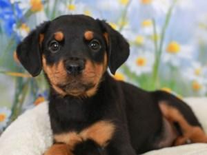 Rottweiler-DOG-Female-Black and Mahogany-3056828
