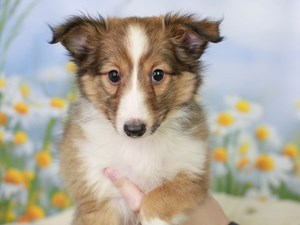 Shetland Sheepdog-DOG-Female--3058980