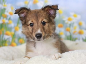 Shetland Sheepdog-DOG-Male-SBLE/WH-3058978