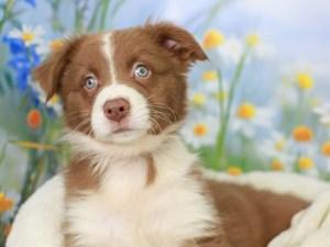 Australian Shepherd-DOG-Male-Red-3056680