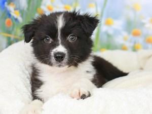 Australian Shepherd-DOG-Female-Black and White-3056671