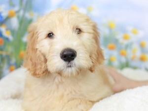 Goldendoodle-DOG-Male--3058589