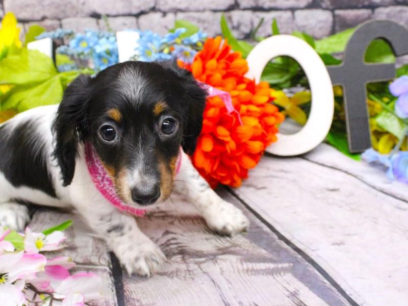 Miniature Dachshund-DOG-Female-Long Haired Black Tri Pied-3058015