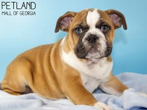 English-Bulldog-DOG-Male-3055854