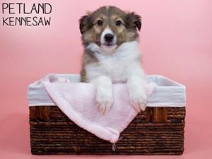 Shetland-Sheepdog-DOG-Female-3055826