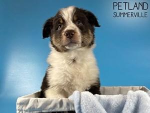 Australian-Shepherd-DOG-Male-3055343