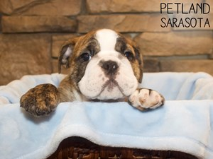 English-Bulldog-DOG-Male-3055325