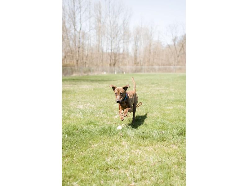 Plott Hound Mix-DOG-Male-Brindle,White-3037035-img2