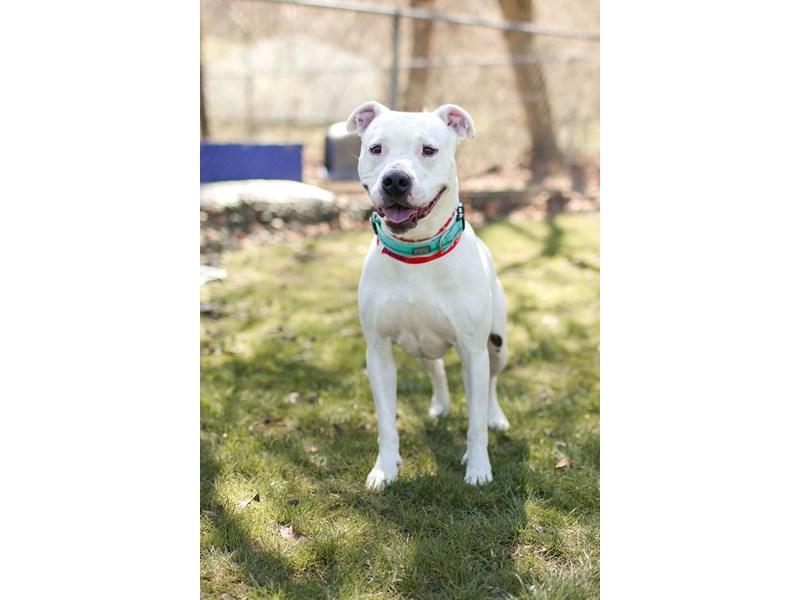 American Pit Bull Terrier-DOG-Female-White,Brindle-3037920-img2