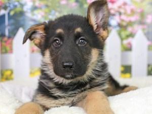 German Shepherd-DOG-Female-Black & Tan-