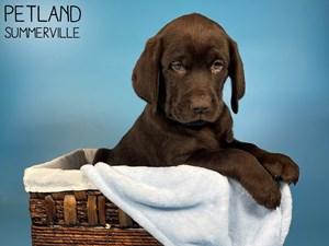 Labrador-Retriever-DOG-Male-3066332