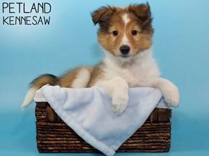 Shetland-Sheepdog-DOG-Male-3066785