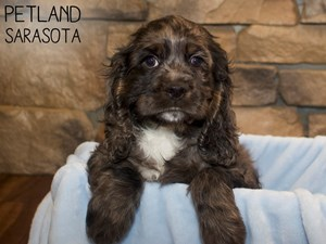 Cocker-Spaniel-DOG-Male-3070237