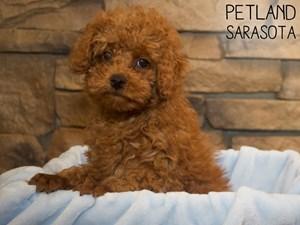 Poodle-DOG-Male-3070110