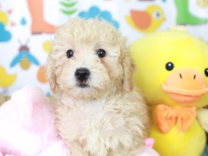 Poodle-DOG-Male-APRICOT-3080606