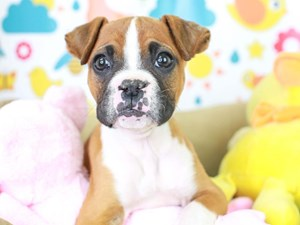 Boxer-DOG-Male-fn wh mkgs-