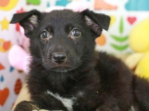 German Shepherd-DOG-Female-Black-